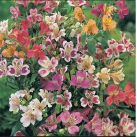 Home Garden Plant 5 Seeds Alstroemeria ligtu DR SALTERS HYBRIDS MIX Peruvian Lily Seeds Free Shipping