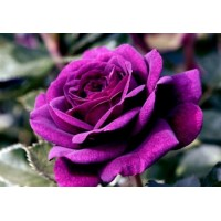 Hot New Purple Rose Rare!!! 200 pcs/bag  Seeds !Fresh Rose Seed Flower Seeds Plant Easy to Maintain